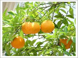 Albero di mandarini siciliani - Cuori Giovani