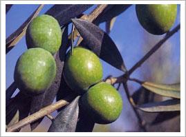 Albero di olivo siciliano - Cuori Giovani