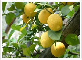 Albero di limoni siciliani - Cuori Giovani